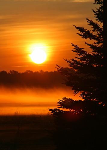 D-28-30 - Pine Tree and Fog at Sunrise. Pinnebog, MI.