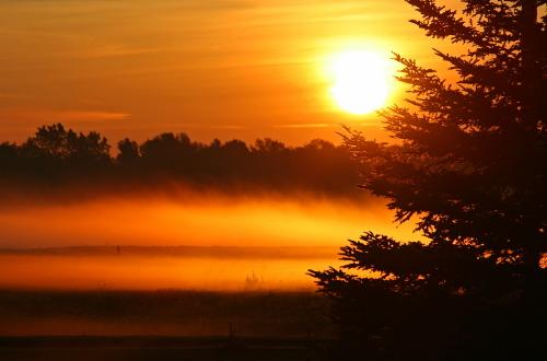 D-28-31 - Pine Tree and Fog at Sunrise. Pinnebog, MI.