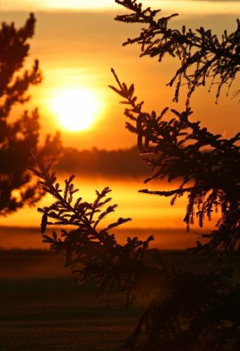 D-28-32 - Pine Tree and Fog at Sunrise. Pinnebog, MI.