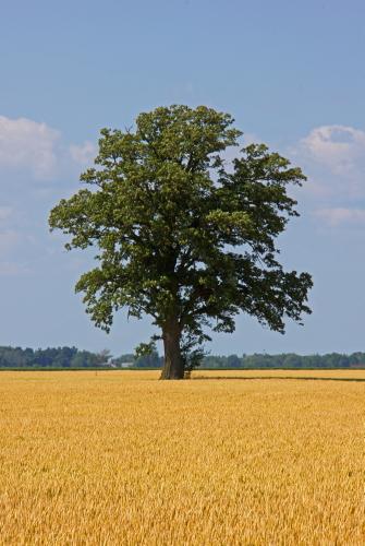 D-28-35 - Lone Tree in a Wheat Field. Caseville, MI.