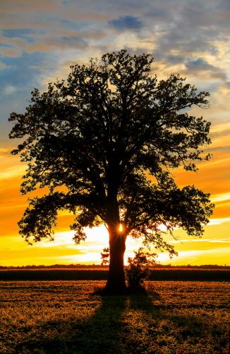 D-28-51 - Lone Tree at Sunset. Caseville, MI.