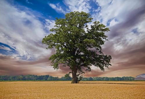 D-28-53 - Lone Tree in a Wheat Field. Caseville, MI. Digitally enhanced.