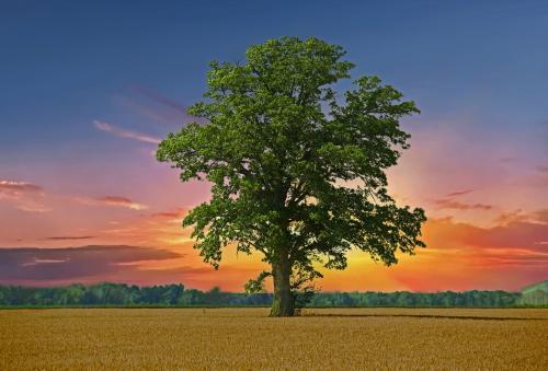 D-28-55 - Lone Tree in a Wheat Field. Caseville, MI. Digitally enhanced.