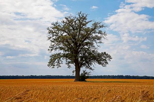 D-28-66 - Lone Tree in a Wheat Field. Caseville, MI.