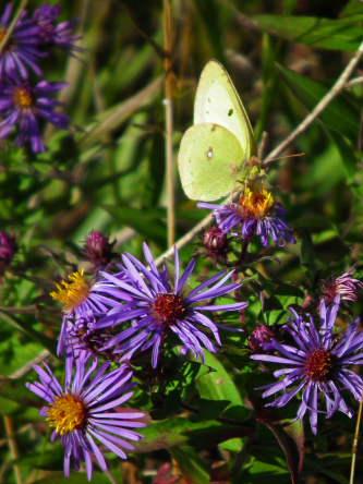 D-48-126 - Clouded Sulphur Butterfly. Oak Beach, MI.