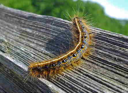 D-48-133 - Eastern Tent Caterpillar. Port Crescent State Park Day Use Area. Port Austin, MI.