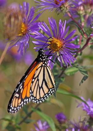 D-48-147 - Monarch Butterfly. Port Hope, MI.