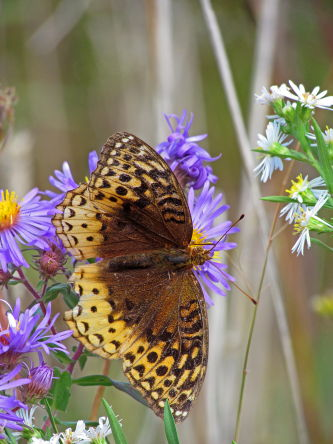 D-48-149 - Great Spangled Fritillary Butterfly. Port Hope, MI.