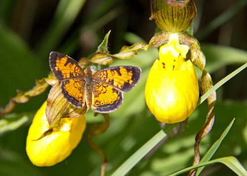 D-48-196 - Northern Crescent Butterfly on a Yellow Lady's Slipper. Huron County Nature Center. Oak Beach, MI.