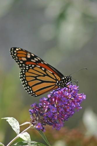 D-48-20 -Monarch Butterfly. Port Austin, MI.