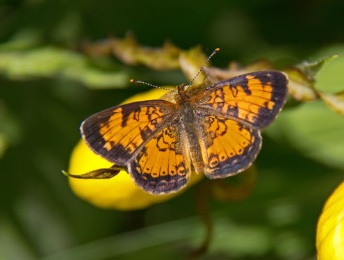 D-48-204 - Northern Crescent Butterfly on a Yellow Lady's Slipper. Huron County Nature Center. Oak Beach, MI.