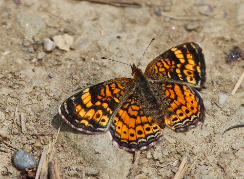 D-48-238 - Pearl Crescent Butterfly. Grindstone City, MI.