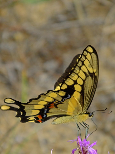 D-48-250 - Giant Swallowtail Butterfly. Port Crescent State Park Day Use Area. Port Austin, MI.