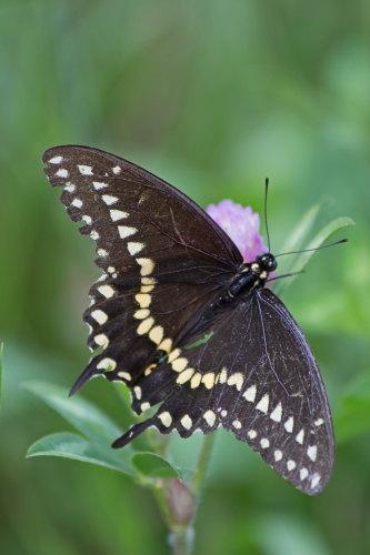 D-48-263 - Black Swallowtail Butterfly. Huron County Nature Center. Oak Beach, MI.
