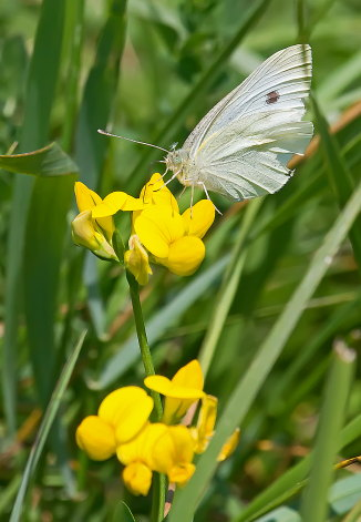 D-48-283 - Cabbage White Butterfly. Fish Point Wildlife Area. Unionville, MI.