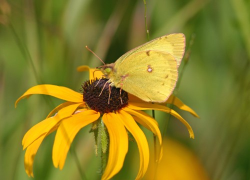 D-48-29 - Clouded Sulphur Butterfly on  a Black-eyed Susan. Pinnebog, MI.