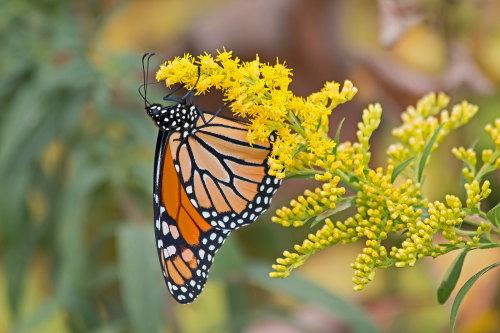 D-48-294 - Monarch Butterfly. Bay Port, MI.