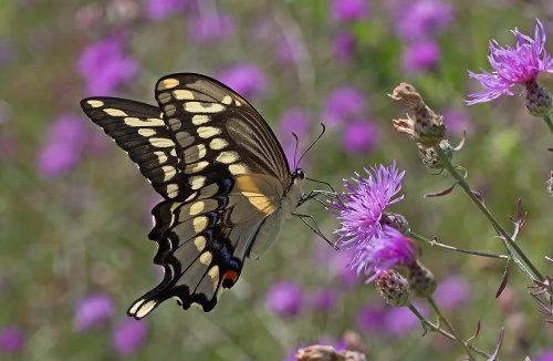 D-48-314 - Giant Swallowtail Butterfly. Mud Creek Public Access. Bay Port, MI.