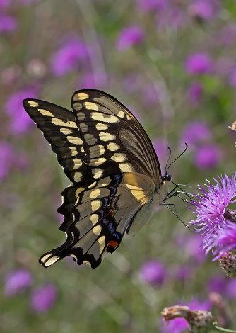 D-48-315 - Giant Swallowtail Butterfly. Mud Creek Public Access. Bay Port, MI.