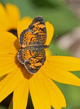 D-48-328 - Northern Crescent Butterfly. Huron County Nature Center. Oak Beach, MI.