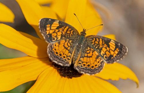 D-48-336 - Northern Crescent Butterfly. Huron County Nature Center. Oak Beach, MI.