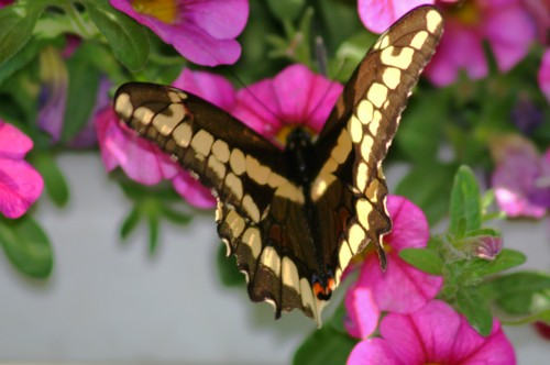 D-48-38 - Giant Swallowtail Butterfly. Pigeon, MI.