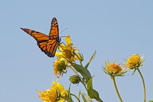 D-48-396 - Monarch Butterfly. Fish Point Wildlife Area. Unionville, MI.