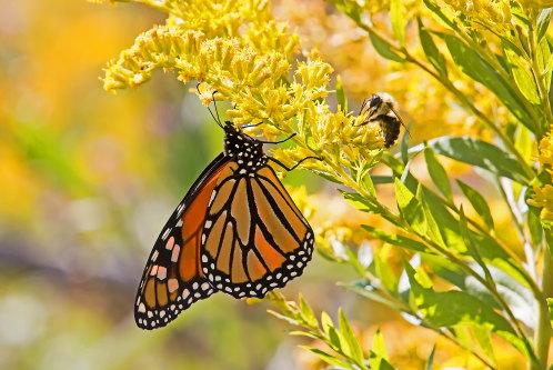 D-48-397 - Monarch Butterfly & Bumble Bee on Goldenrod. Sumac Island Public Access. Sebewaing, MI.