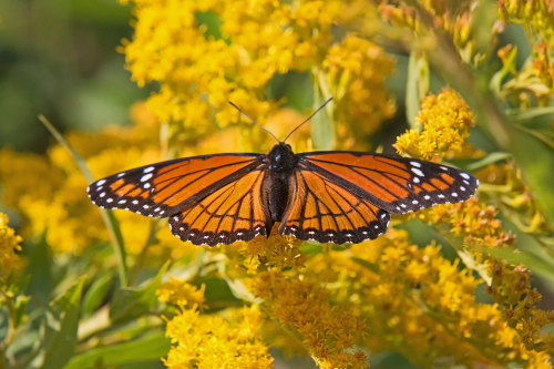 D-48-403 - Viceroy Butterfly on Goldenrod. Sumac Island Public Access. Sebewaing, MI.