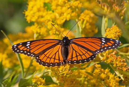 D-48-404 - Viceroy Butterfly on Goldenrod. Sumac Island Public Access. Sebewaing, MI.