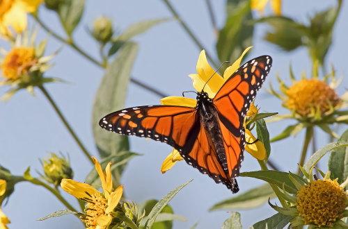D-48-409 - Monarch Butterfly. Fish Point Wildlife Area. Unionville, MI.
