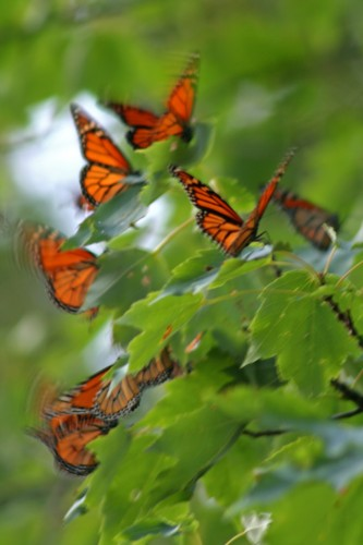 D-48-43- Monarch Butterflies during migration. Pigeon, MI.