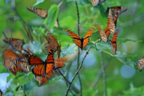 D-48-48 - Monarch Butterflies during migration. Pigeon, MI.