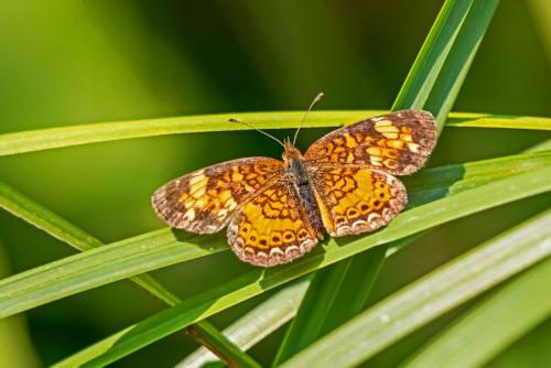 D-48-520 - Northern Crescent Butterfly. Huron County Nature Center. Oak Beach, MI.