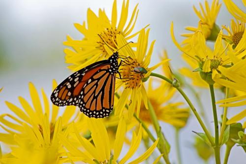D-48-526 - Monarch Butterfly. Port Austin, MI.