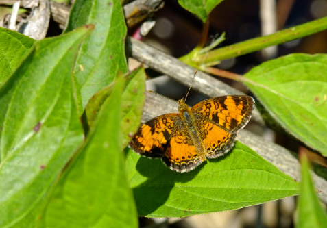 D-48-79 - Northern Crescent Butterfly. Huron County Nature Center. Oak Beach, MI.
