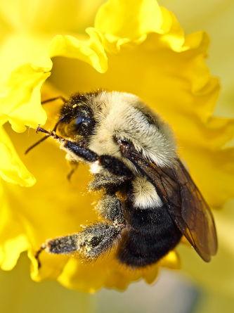 D-56-200 - Bumble Bee on a Daffodil. Pigeon, MI.