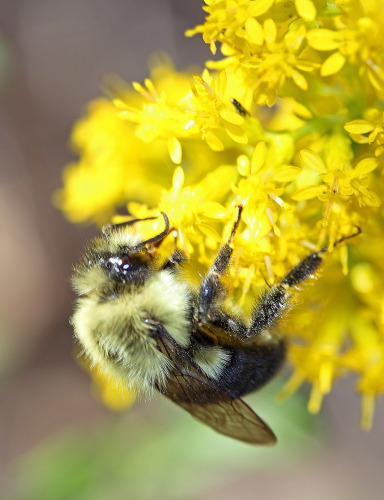 D-56-265 - Bumble Bee on Goldenrod. Port Crescent State Park Day Use Area. Port Austin, MI.