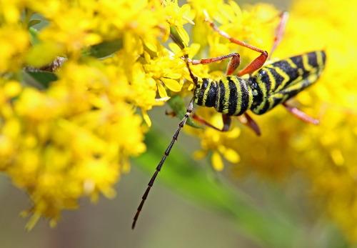 D-56-269 - Long-horned Wood-boring Beetle on Goldenrod. Port Crescent State Park Day Use Area. Port Austin, MI.
