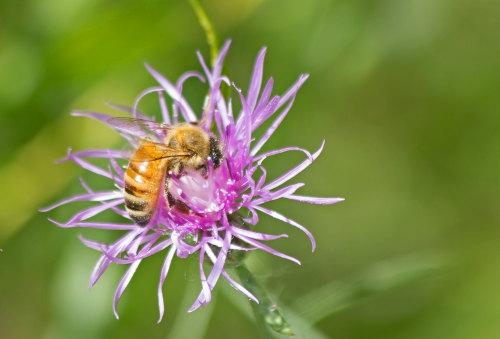 D-56-294 - Honey Bee on a purple wildflower. Huron County Nature Center. Oak Beach, MI.