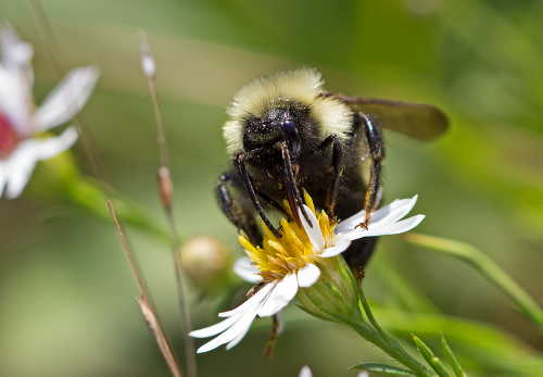 D-56-306 - Bumble Bee on a Daisy. Huron County Nature Center. Oak Beach, MI.