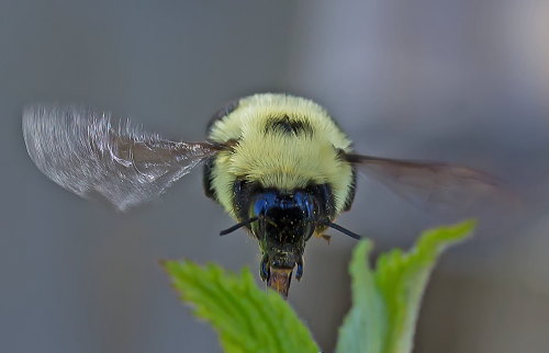 D-56-317 - Bumble Bee hovering over Apple Blossoms. Sebewaing, MI.