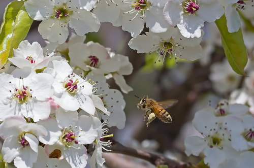 D-56-333 - Honey Bee in flight near Apple Blossoms. Sebewaing, MI.