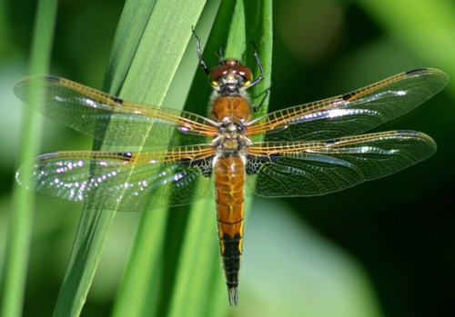 D-56-41 - Four-spotted Skimmer Dragonfly. Maple River State Game Area. Bridgeville, MI.