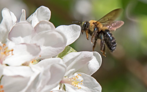 D-56-488 - Bumble Bee on Apple Blossoms. Caseville, MI.