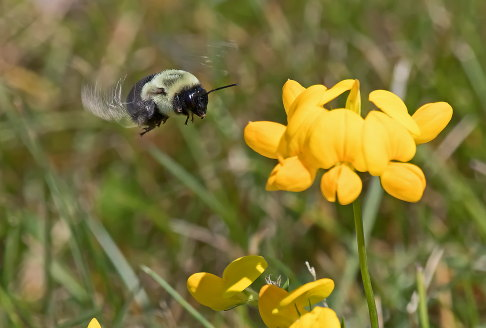 D-56-499 - Bumble Bee hovering over yellow wildflowers. Grindstone City, MI.