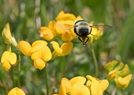 D-56-500 - Bumble Bee hovering over yellow wildflowers. Grindstone City, MI.