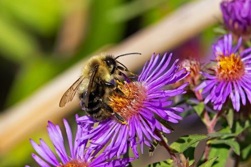 D-56-622 - Bumble Bee on a Purple Wild Flower. Fish Point Wildlife Area. Unionville, MI.