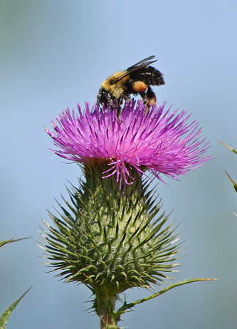 D-56-98 - Bumble Bee on Russian Thistle. Grindstone City, MI.