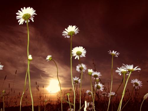 D-21-122 - Wild Daisies at sunrise. Caseville, MI.